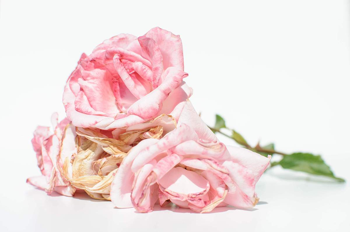 A Wilted Rose